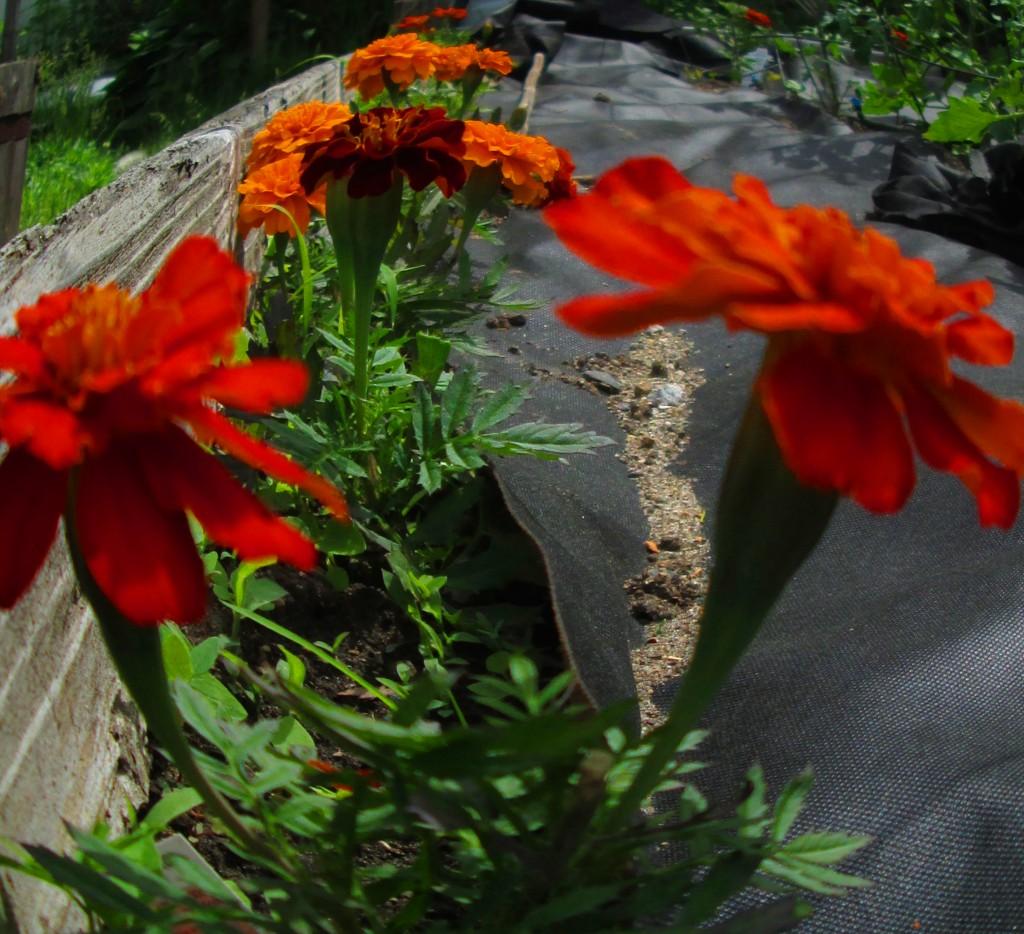 Marigolds in my garden