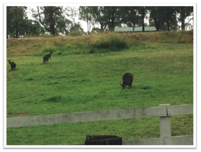 kangaroos-sydney